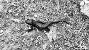 salamandra lanza