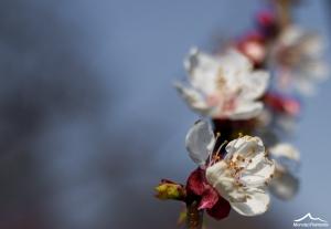 fioritura albicocco-10