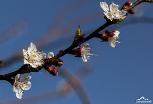 fioritura albicocco-4