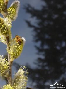 salice_fioritura (4)